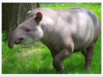 Cliquez pour adopter les tapirs du Brésil !