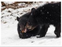 Cliquez pour adopter les ours du Tibet !