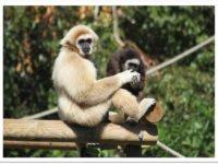 Cliquez pour adopter les gibbons à mains blanches !