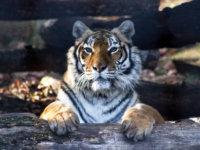 Tigres (5)